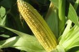 Аграрії «НІБУЛОНа» – на фініші осінньої збиральної кампанії